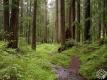 Лес (Чашникское лесничество)